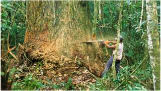 Tree felling in the Amazon