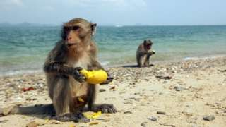 Macacos comendo fruta na praia