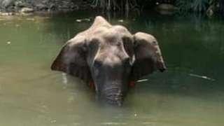 La elefanta herida en un arroyo
