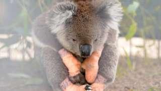Kanguru adasında yaralı bir koala