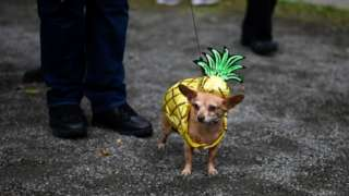 Dog in pineapple costume