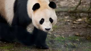 Giant Panda, Yang Guang, exploring his new home at Edinburgh Zoo.