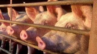 Pigs at farm in Metfield