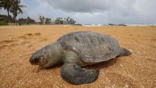 A dead Olive Ridley sea turtle (Lepidochelys olivacea) washed ashore on the beach at Mount Lavinia in the suburbs of Colombo, Sri Lanka, 24 June 2021.