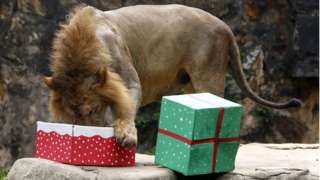 A lion eats from its gift box in Cali Zoo