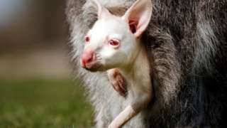 The baby albino wallaby