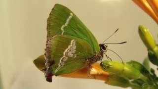 A Cyanophrys bertha é uma espécie de borboleta presente no Rio Grande do Sul
