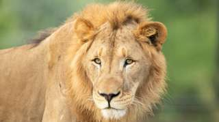 File photo of lion