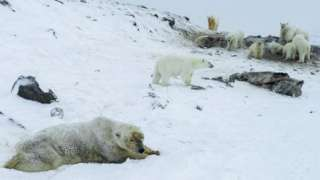 Polar bears in a group near the village