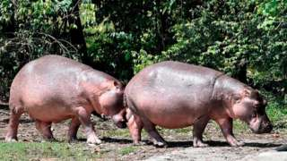 Hippos at the Hacienda Napoles theme park, once the private zoo of drug kingpin Pablo Escobar at his Napoles ranch, in Doradal, Antioquia department, Colombia, 12 September 2020