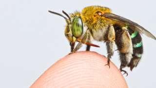 The bee species Amegilla andrewsi