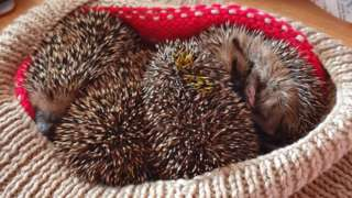 Four hoglets rescued by West Wales Hedgehog Rescue