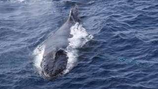 Humpback whale (c) Wegner Institute