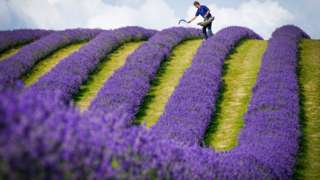 Lavender farmer Rory Irwin, from Scottish Lavender Oils, inspects the rows of folgate lavender ahead of this year's harvest at Tarhill Farm in Kinross. 27 July 2021