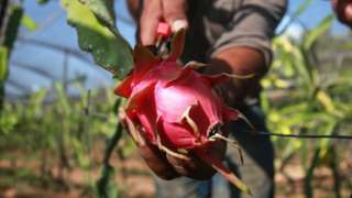 Palestinian farmers harvest pitaya also known as dragon fruit.