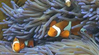 Clown fish swimming among the coral on the Great Barrier Reef