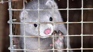 A mink in a cage at a farm