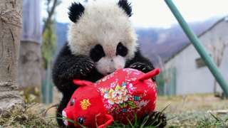 """A panda cub playing with a toy pig ahead of the Lunar New Year at the Shenshuping breeding base of Wolong National Nature Reserve in Wenchuan, China""""s southwestern Sichuan province"""