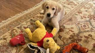Mike Pompeo's dog Mercer, with a Winnie-the-Pooh toy.