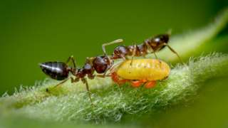 Mravi se hrane medenom rosom, što je gnjecav sekret koji ispuštaju lisne vaši
