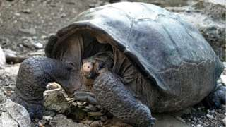 A specimen of the giant Galapagos tortoise Chelonoidis phantasticus, thought to have gone extint about a century ago, is seen at the Galapagos National Park on Santa Cruz Island in the Galapagos Archipelago, in the Pacific Ocean 1000 km off the coast of Ecuador, on February 19, 2019.