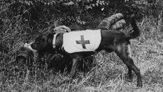 Dog locating a wounded soldier, circa 1917
