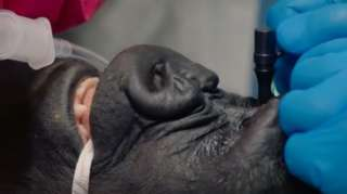 the gorilla has its eye inspected
