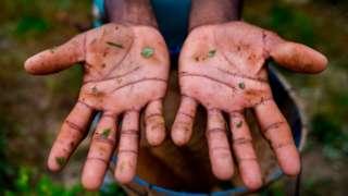 Руки трудового мигранта из Венесуэлы на плантации коки в Колумбии