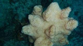 A dead maze coral in West Caicos