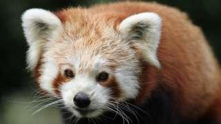 Kush the red panda