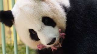 Huan Huan giant panda holds her newly-born twins at at the ZooParc de Beauval, France