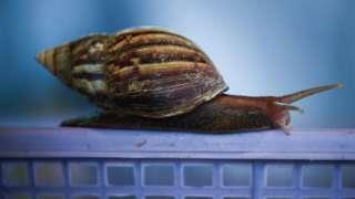 หอยทากขนาดใหญ่ ที่ได้รับการเลี้ยงดูอย่างดีจากชาวนาไทย