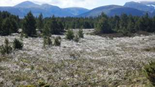 Bog cotton in the Cairngorms