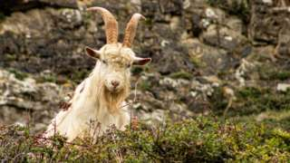 A Kashmiri goat on the Great Orme