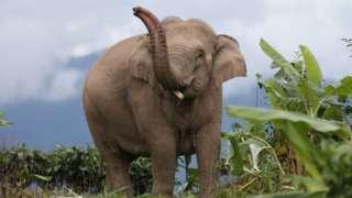 Asian elephant wandering in Yunnan