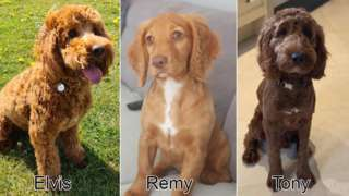 Dogs Elvis, Remy and Tony were stolen from a farm in Spondon, Derbyshire, in August