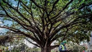 A fig tree that has been saved from being cut down to make way for a high way in Nairobi, Kenya