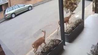 Two deer walking down a street in Leichhardt