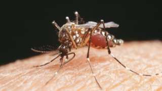 The Aedes aegypti mosquito which transmits Zika virus