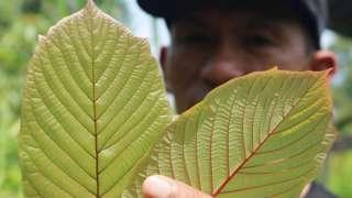 เกษตรกรชาวอินโดนีเซียถือใบกระท่อม