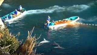 Barcos cercam golfinhos e jogam redes para capturá-los no Japão