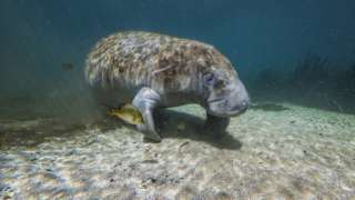 Manatee pictured in the warm water of Florida, USA