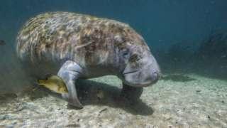A manatee