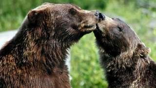 Ведмеді тварини секс