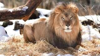 Lion sidon for di Bronx zoo