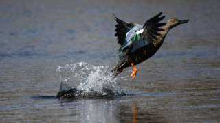 A duck takes off in flight at a wetlands near Cape Town, South Africa