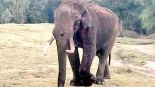घायल हाथी