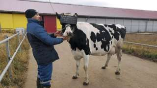 Vaca recebendo visor de realidade virtual