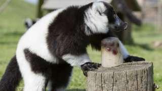 Ice treat for lemurs