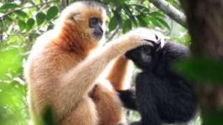 ဂစ်ဘွန် မျောက်လွှဲကျော်တွေဟာ မိသားစုနဲ့ တစ်စုတစ်ဝေးထဲ နီးနီးကပ်ကပ်နေတဲ့ အလေ့ထရှိ